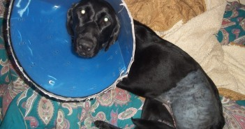 lucy-cone-post-surgery