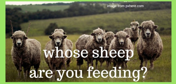 sheep are you feeding