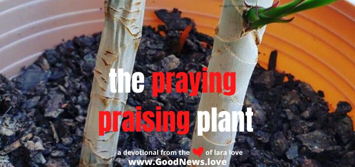 praying praising plant