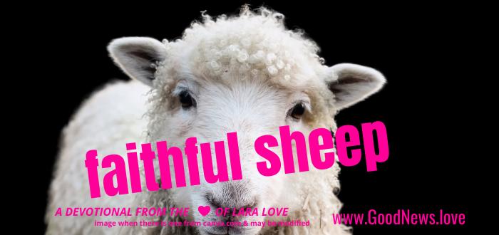 faithful sheep